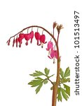 Small photo of Love-lies bleeding (Amaranthus caudatus)