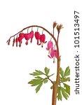 Small photo of Love-lies bleeding (Amaranthus caudatus)