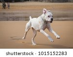 The White Boxer Dog Playing