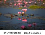 the lotus in the pond is... | Shutterstock . vector #1015326013
