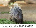 portrait of cute porcupine. the ... | Shutterstock . vector #1015364953