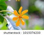 A Single Of Yellow Gardenia...