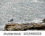 A Seagull Screams On A Rock...