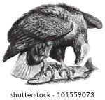 sea eagle  haliaetus albicilla  ...