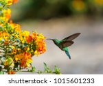 colorful hummingbird in costa... | Shutterstock . vector #1015601233