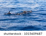 dolphins at black river ... | Shutterstock . vector #1015609687
