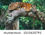 the tiger rested on a wooden... | Shutterstock . vector #1015620793