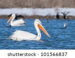 dalmatian pelican in winter ... | Shutterstock . vector #101566837