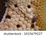 honeycomb closeup shot in the... | Shutterstock . vector #1015679227