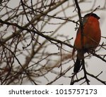 common bullfinch  pyrrhula... | Shutterstock . vector #1015757173