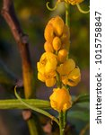 Small photo of Ringworm Bush, Golden Bush Beautiful Yellow flowers