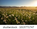 daisies in the field near the... | Shutterstock . vector #1015771747