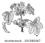 common mallow or malva... | Shutterstock .eps vector #101580367