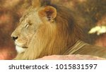 lion looking regal standing ... | Shutterstock . vector #1015831597