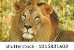 lion looking regal standing ... | Shutterstock . vector #1015831603