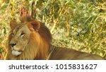 lion looking regal standing ... | Shutterstock . vector #1015831627
