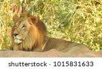 lion looking regal standing ... | Shutterstock . vector #1015831633