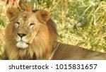 lion looking regal standing ... | Shutterstock . vector #1015831657
