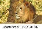 lion looking regal standing ... | Shutterstock . vector #1015831687