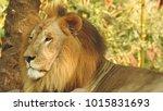 lion looking regal standing ... | Shutterstock . vector #1015831693