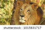 lion looking regal standing ... | Shutterstock . vector #1015831717