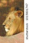 lion looking regal standing ... | Shutterstock . vector #1015831747
