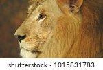 lion looking regal standing ... | Shutterstock . vector #1015831783