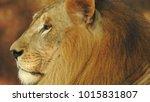 lion looking regal standing ... | Shutterstock . vector #1015831807