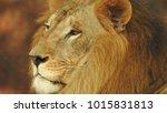lion looking regal standing ... | Shutterstock . vector #1015831813