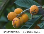 bunch of ripe loquats in the... | Shutterstock . vector #1015884613
