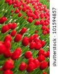 red tulips field | Shutterstock . vector #101594857