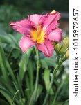 macro pink lily flower. fresh... | Shutterstock . vector #1015972657