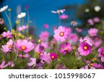 Cosmos Flowers In Garden On...