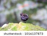 brown dipper  cinclus pallasii  ... | Shutterstock . vector #1016137873