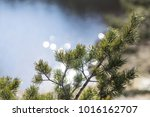conifer tree branch isolated | Shutterstock . vector #1016162707