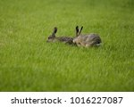 Small photo of two hare in the grass ears up to listen if there aren't any enemies