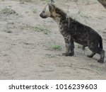 hyena at kruger national park | Shutterstock . vector #1016239603