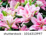 beautiful pink lilly flower in... | Shutterstock . vector #1016313997