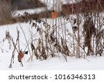 bullfinch snow winter | Shutterstock . vector #1016346313