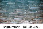 school of tiny white and silver ... | Shutterstock . vector #1016352853