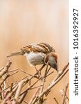 male or female house sparrow or ... | Shutterstock . vector #1016392927