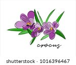 crocus vector illustration.... | Shutterstock .eps vector #1016396467