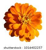 yellow orange daisy flower... | Shutterstock . vector #1016402257