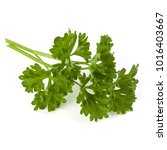 parsley leaves bunch isolated... | Shutterstock . vector #1016403667