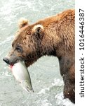 wild brown grizzly bear eating... | Shutterstock . vector #1016446387