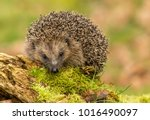 hedgehog  native  wild european ... | Shutterstock . vector #1016490097