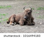 Small photo of bison stand down