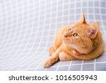 cute red cat   Shutterstock . vector #1016505943