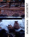 capybara taking over hot springs   Shutterstock . vector #1016538787