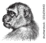macaque  macacus inuus   ... | Shutterstock .eps vector #101654443